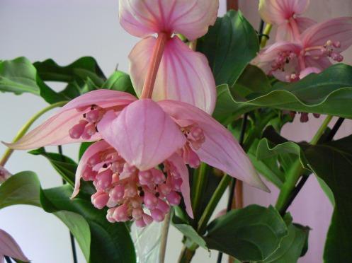 Tên của hoa này là Medinilla Magnifica, có vẻ là hoa rừng nhiệt đới ...