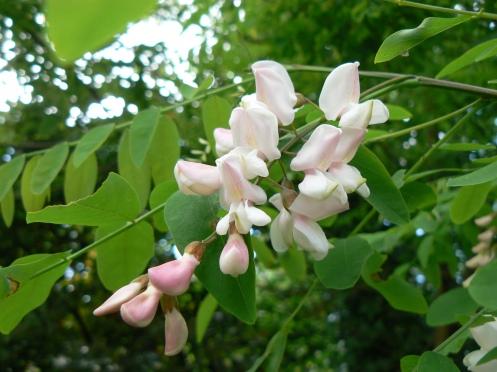 Fleurs de faux acacia ou robinier