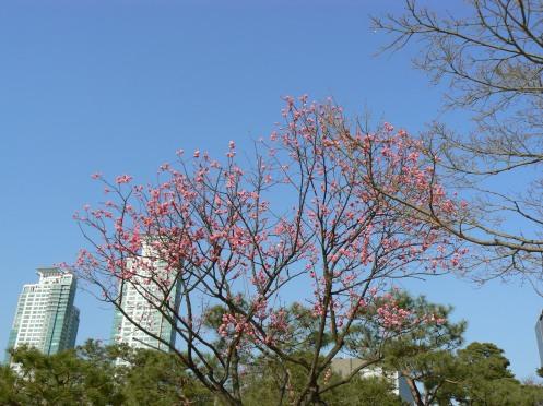 Hoa đào trên nền nhà chọc trời