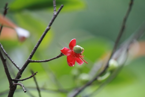 cũng một cánh hoa đơn ... ảnh J. E. Poirrier
