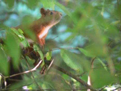 Trên cây hạt dẽ - noisettier - chú sóc đi tìm thức ăn. Tháng bảy, hạt dẽ non còn mềm...