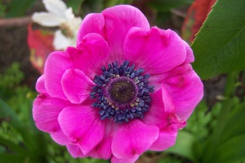 hoa anémone
