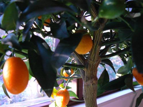 Marcel mang đến tặng  chúng tôi một cây quýt đầy trái vàng óng. Anh cẩn thận nhắc chńh tôi là không ăn được....
